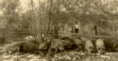 Criação de porcos. Propriedade de Albino Toretta - 1951